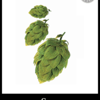 Saaz Hops - Small Batch Brew